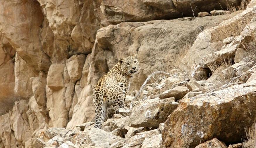 رها سازی پلنگ پارک ملی تندوره