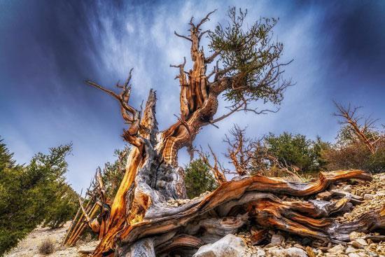 قدیمی ترین درخت بونسای در دنیا