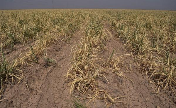 سرما و توفان 2300 میلیارد تومان به کشاورزی کرمان خسارت زد ، صندوق بیمه حداکثر 6 میلیون غرامت پرداخت می کند!