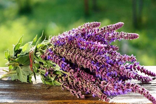 مریم گلی؛ گیاهی ضد ویروس