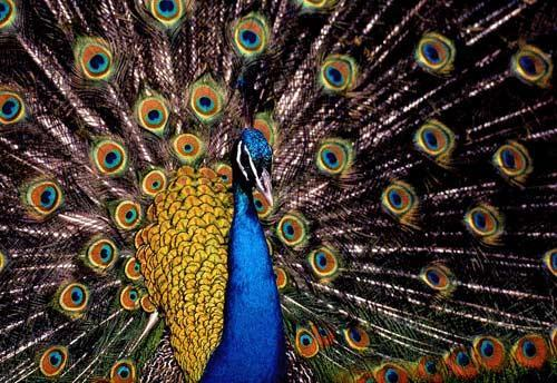 آیا پرواز کردن طاووس را دیده اید؟
